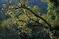 Craigia yunnanensis, one of the worlds rarest trees, Sudián, Dehong Prefecture, Yunnan Province, China
