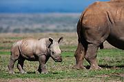 A white rhinoceros calf (Ceratotherium simum) standing behind its mother, Solio, Kenya