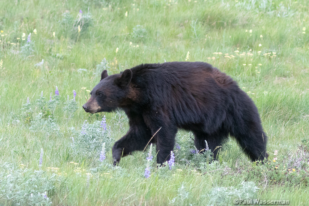 Black Bear along the East end of Going to the Sun Road, Glacier National Park, Wyoming