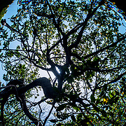 Red mangrove (Rhizophora mangle) tree as seen through snell's window in The Bahamas