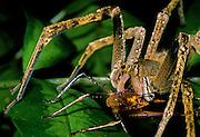 Wandering spider eating katydid - Amazonia, Peru.