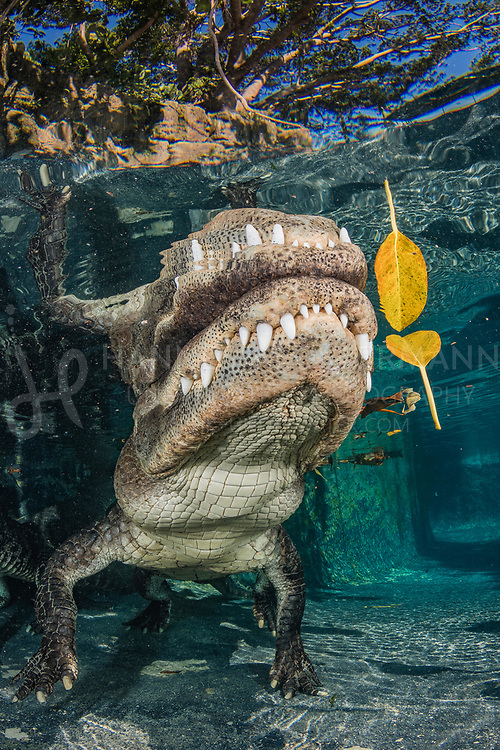 © Hannes Klostermann, Mississippi-Alligator, Alligator mississippiensis, Everglades Outpost, Homestead, Florida, USA