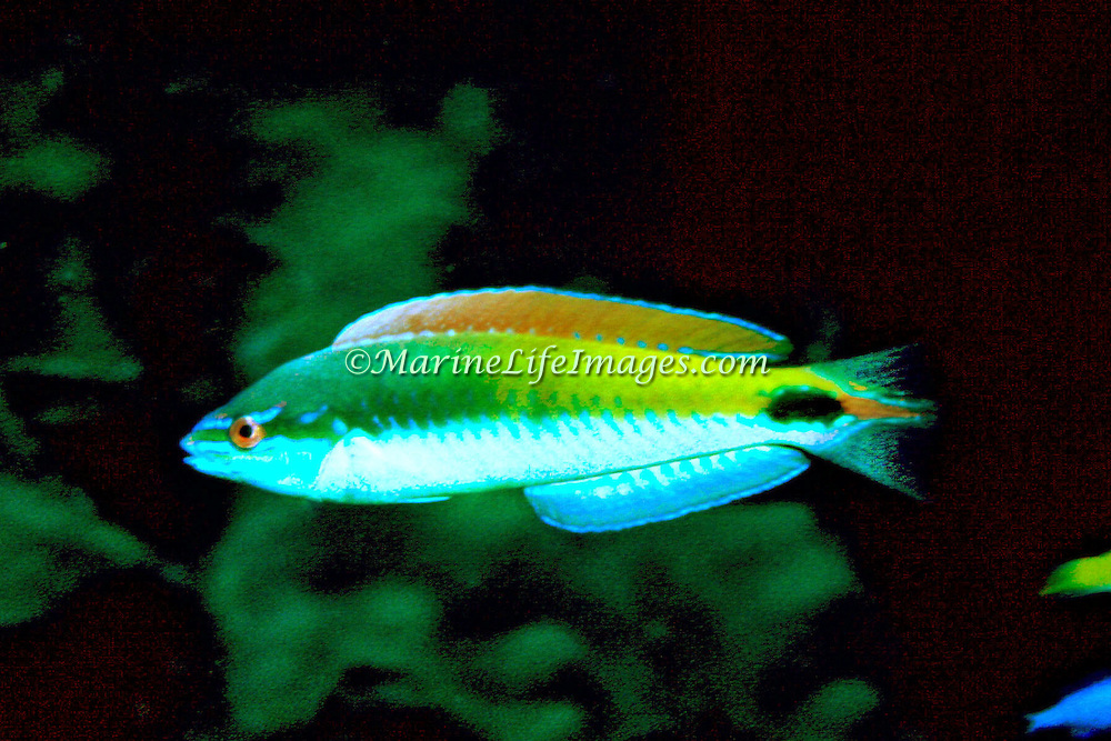 Rainbow Wrasse constantly swim in water above reefs in Tropical West Atlantic; picture taken Grand Cayman.