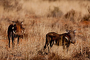 Tswalu Kalahari Reserve, the Oppenheimer family-owned reserve near the very small town of Vanzylsrus. Warthogs