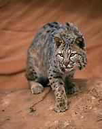 Stalking bobcat , sandstone terrain, [captive, controlled conditions] © David A. Ponton