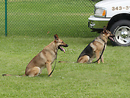 Middletown, NY - Two police dog sit while waiting for a command during a demonstration at the YMCA on June 1, 2008.