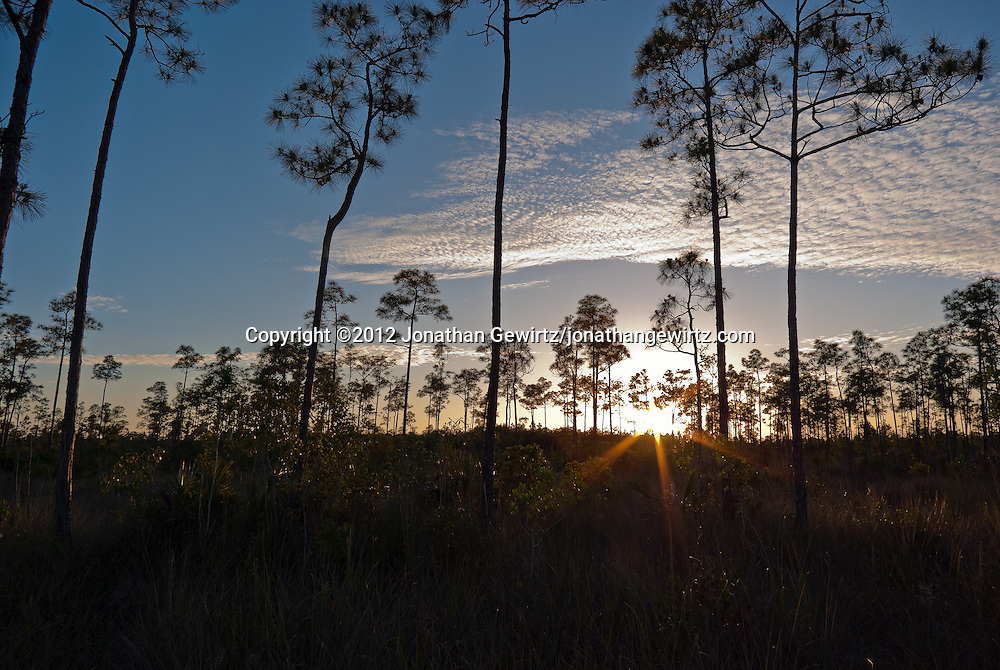 The sun sets amid the slash pines near Pine Glades Lake in Everglades National Park, Florida. WATERMARKS WILL NOT APPEAR ON PRINTS OR LICENSED IMAGES.
