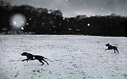 Dogs exercising in the snow in Highgate Woods on 24th January 2021 in London, United Kingdom. London has seen the biggest regional spike in UK dog ownership with during the lockdowns with an increase of 84 per cent in 2020.