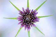 France, Languedoc Roussillon, Gard (30), Cevennes), fleur de Salsifis à feuilles de poireau, N.L.: Tragopogon porrifolius, (Astéracées)