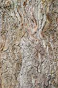 Closeup of the bark on an old oak tree. Smaland region. Sweden, Europe.