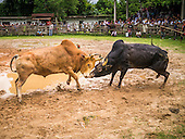 Bullfighting in Hat Yai
