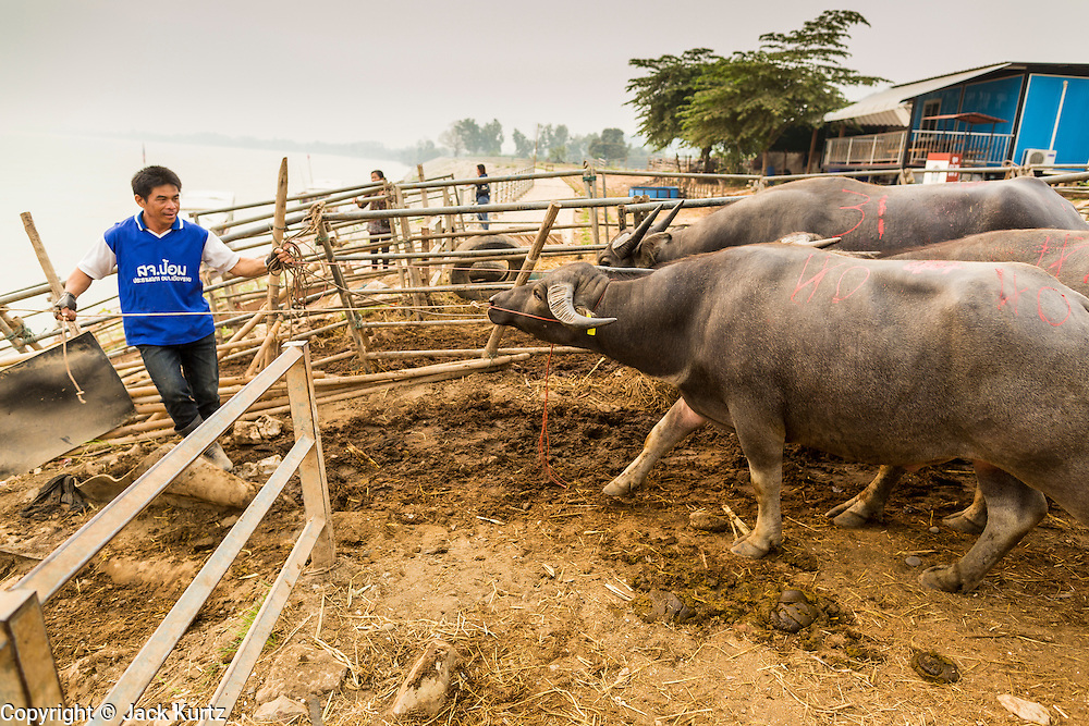 23 APRIL 2014 - CHIANG SAEN, CHIANG RAI, THAILAND: Workers in Chiang Saen port load water buffalo onto a river boat that hauls cattle and buffalo to meat markets in southern China. Chiang Rai province in northern Thailand is facing a drought this year. The 2014 drought has been brought on by lower than normal dry season rains. At the same time, closing dams in Yunnan province of China has caused the level of the Mekong River to drop suddenly exposing rocks and sandbars in the normally navigable Mekong River. Changes in the Mekong's levels means commercial shipping can't progress past Chiang Saen. Dozens of ships are tied up in the port area along the city's waterfront.               PHOTO BY JACK KURTZ