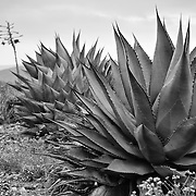Agave shawii - Cross-Border Botanical Gem