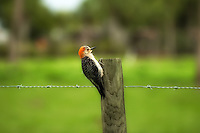 Juvenile red-bellied woodpecker resting on a fence post after leaving its nest in a nearby dead palm. These loud woodpeckers are the most commonly seen in South Florida.