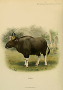 The gaur (Bos gaurus), also known as the Indian bison, is a bovine native to South and Southeast Asia, colour illustration From the book ' Wild oxen, sheep & goats of all lands, living and extinct ' by Richard Lydekker (1849-1915) Published in 1898 by Rowland Ward, London