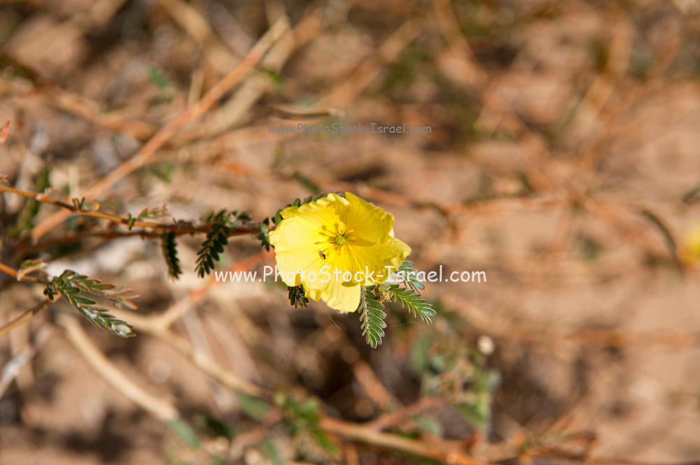 Yellow Mouse-whiskers, (Cleome angustifolia), Cape Cross, Namibia