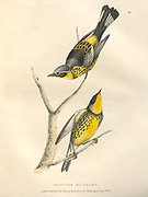 Spotted Warbler (Sylvicola maculosa) color plate of North American birds from Fauna boreali-americana; or, The zoology of the northern parts of British America, containing descriptions of the objects of natural history collected on the late northern land expeditions under command of Capt. Sir John Franklin by Richardson, John, Sir, 1787-1865 Published 1829