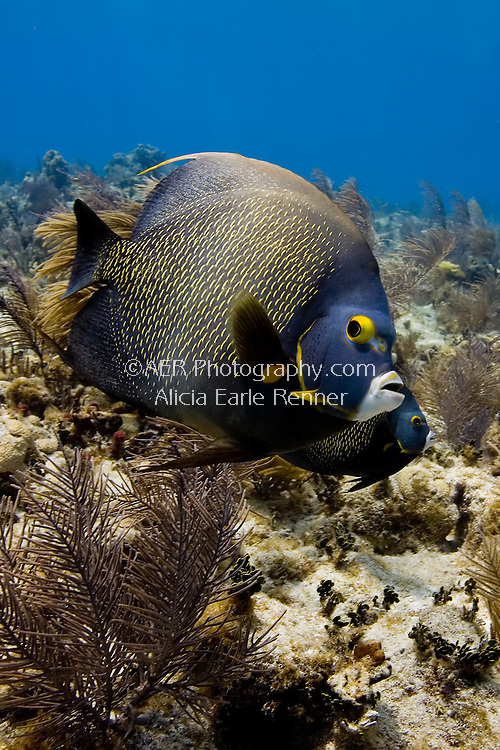 Florida Keys reef angel fish