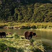 Alaskan Brown Bear (Ursus middendorffi) Female with her cubs watching salmon in river from rivers edge. Katmai National Park. Alaska. Summer.