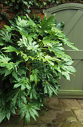 Fatsia japonica growing in a shady corner by a door