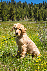 """""""Puppy in Sagehen Meadows 3"""" - Photograph of Golden Retriever puppy """"Quill"""" in the wildflowers at Sagehen Meadows, a little north of Truckee, California."""