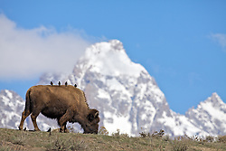"""Birds gazing at the Grand Tetons from the back of a bison as if they were a bunch of tourists on a bus.Pardon my anthropomorphisation :D<br /> <br /> For production prints or stock photos click the Purchase Print/License Photo Button in upper Right; for Fine Art """"Custom Prints"""" contact Daryl - 208-709-3250 or dh@greater-yellowstone.com"""