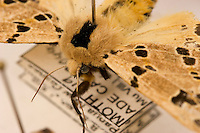 Pinned specimens of moths from the rain forest in Chmbu Province.