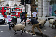 A farmer leads his sheep across a set of traffic lights as campaign group Farmers For A Peoples Vote herd a flock of sheep from Mudchute Farm in East London past government building in Whitehall in London, United Kingdom on 15th August 2019. They are concerned about the inpact of a no deal Brexit on farming and agriculture.