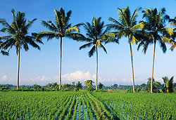 Asia, Indonesia, Bali, Ubud, coconut palm trees tower over lush irrigated rice fields