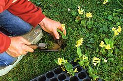 Making a wildflower lawn<br /> Planting cowslip plugs - Primula veris
