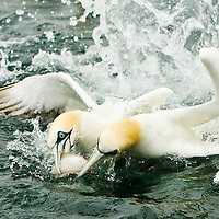 Gannets fight over a fish around Bass Rock in the River Forth. Scotland, UK..Picture Michael Hughes/Maverick ..THE GANNET is Britain's largest seabird with a wing span of just under two meters. From January onwards 140,000 Atlantic gannets return to the Bass Rock, the world's largest single rock gannet colony. Returning to the same mate and the same nest every year, they spend most of the year on the Bass, until the end of October, when the last chicks set out on their long journey down to the West Coast of Africa, with the adults returning again in January.....