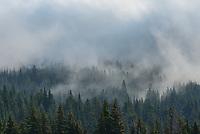 Fog moves between pine trees near East Pryor Mountain.