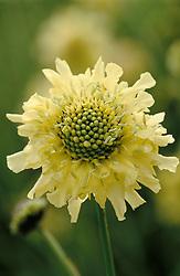 Cephalaria gigantea syn. Scabiosa gigantea. GIant scabious, yellow scabious