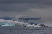 A humpback whale flukes in the Herrera Chanel, Antarctica, on January 31, 2020.