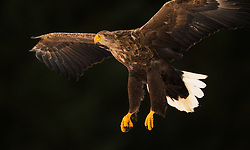 White-tailed Eagle Haliaeetus albicilla) in Smøla, Norway
