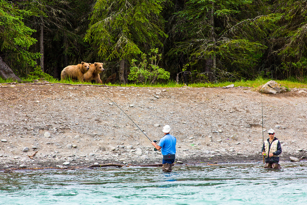 Alaska.  Two fishermen react casually while two juvenile Brown Bears (Ursus arctos) approach the south bank of the Upper Kenai River near the Russian River Ferry in June.  The mother bear is just visible in the woods behind.  Bears routinely forage the banks of this highly popular fishery for easy pickings of salmon on stringers or for human food let unattended.  Bear/human interaction is  problematic and often leads to habituation, with negative results for the bear.