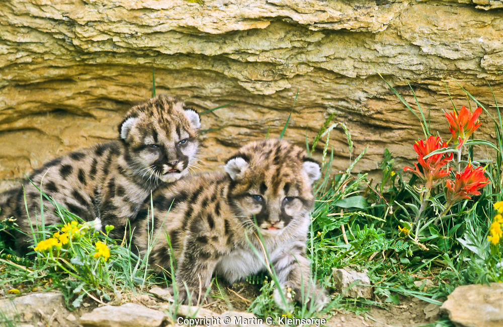 Mountain lion kittens (Felis concolor)  Kittens are 10-14 days old.