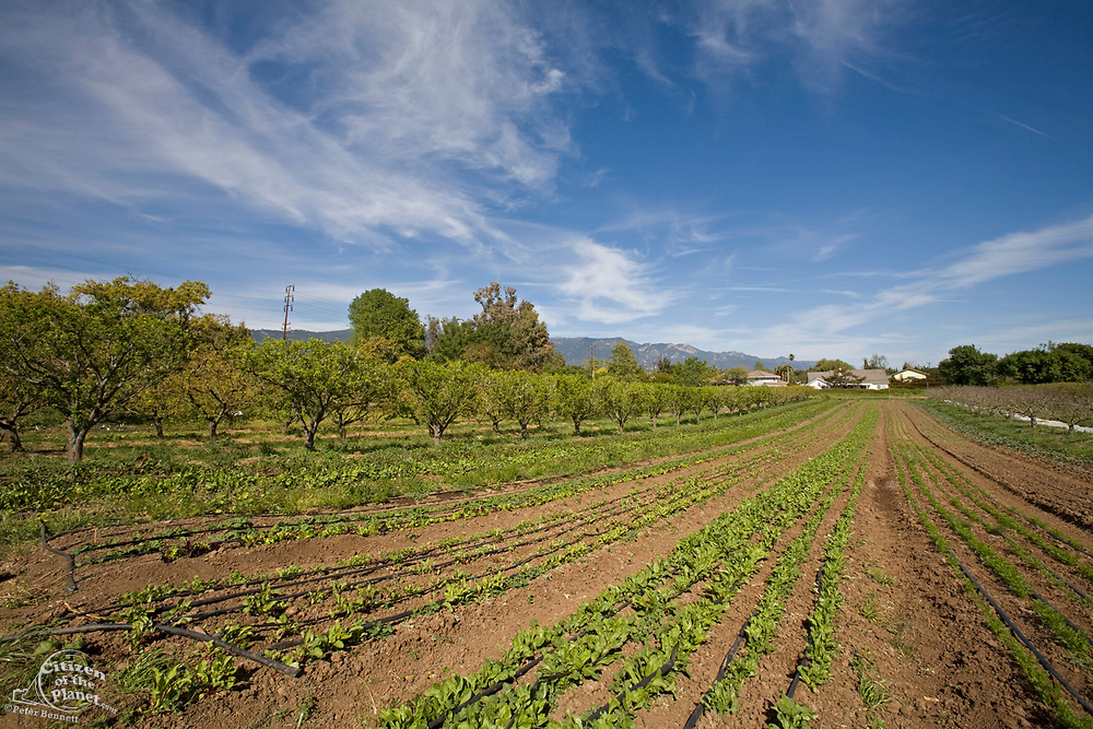 Alley farming allows for multiple crops to be planted alongside each other, maximizing the the most efficient use of land. The Center for Urban Agriculture at Fairview Gardens is one of the oldest organic farms in California. Located on 12 acres,  Goleta, California
