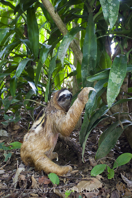 Brown-throated Three-toed Sloth <br /> Bradypus variegatus<br /> Male defecating on ground<br /> Aviarios Sloth Sanctuary, Costa Rica<br /> *Rescued and in rehabilitation program