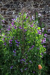 Lathyrus odoratus 'North Shore'. Sweet peas growing up a birch support in the trials bed at Parham House