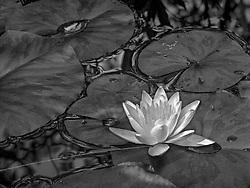 Lotus - Water Lily, Schweibenalp, Switzerland