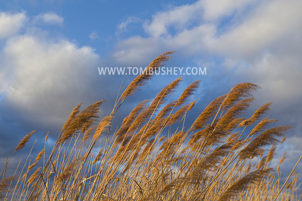 Chester, New York - The wind blows reeds and clouds on a spring afternoon  April 5, 2014.