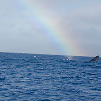 Humpback Whale, Megaptera novaeangliae,Whale and Rainbow, Maui Hawaii