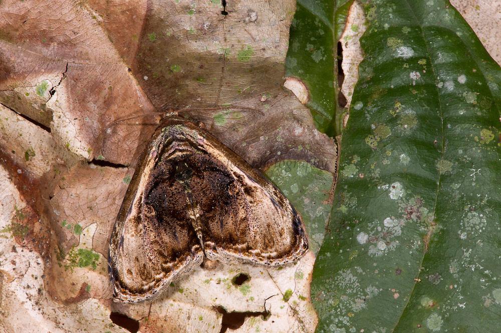 Dead-leaf Mimic Moth (Lepidoptera)<br /> Yasuni National Park, Amazon Rainforest<br /> ECUADOR. South America