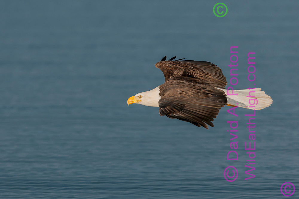 Bald eagle in gliding flight over ocean water with a look of intent on something ahead © David A. Ponton