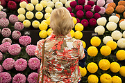 Harrogate Flower Show, North Yorkshire, England, UK. The Plant Pavilion is full of every variety of flowering plant you can think of, with blooms of all shapes, sizes and colours. People blending in with the Chrysanthemums