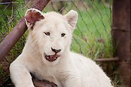 Travel - South Africa - White Lion Cubs - 2010