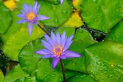 Water Lily, Lyon Arboretum. Manoa Valley, Honolulu, Oahu, Hawaii
