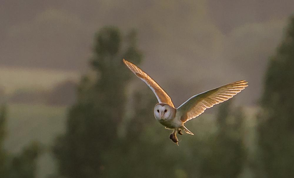 Barn owl at Brading Marsh, Isle of Wight