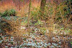 Cornus sanguinea 'Midwinter Fire' underplanted with Iris 'Katharine Hodgkin' (Reticulata) in the Winter Garden at Dunham Massey
